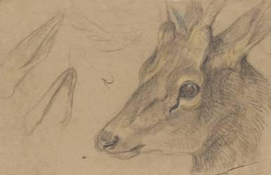 Etude d'une tête de chevreuil ou d'antilope, tournée vers la gauche (Boel Pieter) - Muzeo.com