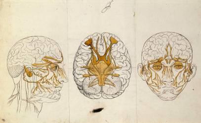 Etudes du système nerveux de la tête de l'homme (Le Brun Charles) - Muzeo.com