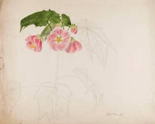 Abutilon (Gallé Emile) - Muzeo.com