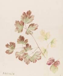 Ancolie (Gallé Emile (atelier de)) - Muzeo.com
