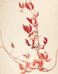 Branches de plante grimpante avec feuilles rouges et baies (Gallé Emile) - Muzeo.com
