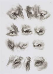 Planche 36 : yeux de loup, de renard et de pourceau (Le Brun Charles) - Muzeo.com