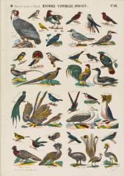 Histoire naturelle : oiseaux (anonyme) - Muzeo.com