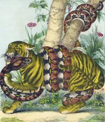 Serpent boa et Tigre (Pinot Olivier) - Muzeo.com