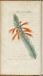 Almanach de Flore : Erica grandiflora (Pancrace Bessa) - Muzeo.com