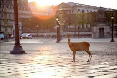 Chevreuil debout sur la place de la Condorde (Chris Tobin) - Muzeo.com