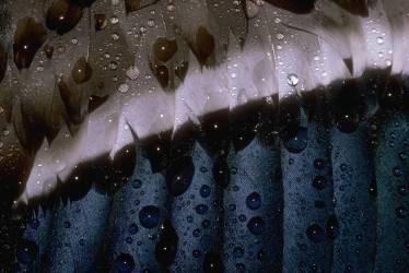 Detail of the feathers of a mallard (Gulin Darrell) - Muzeo.com