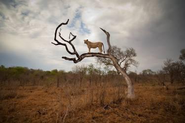 Lionne debout sur une branche (Sean Russell) - Muzeo.com