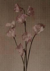 Countess Spencer sweet pea. (H. M. Burton) - Muzeo.com