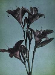 Lilies (anonyme) - Muzeo.com