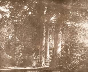 Beech Trees, Lacock Abbey (William Henry Fox Talbot) - Muzeo.com
