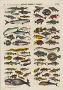 Histoire naturelle : poissons (anonyme) - Muzeo.com