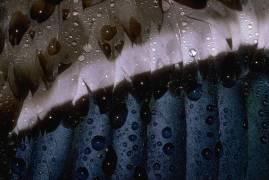 Detail of the feathers of a mallard (Darrell Gulin) - Muzeo.com