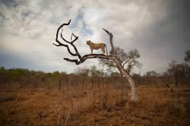 Lionne debout sur une branche (Russell Sean) - Muzeo.com