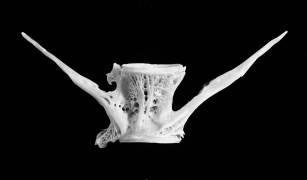 Fish Bone (Jim Occi) - Muzeo.com