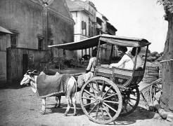 Bombay Hackerry (Francis Frith) - Muzeo.com