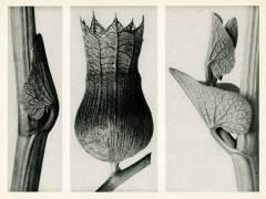 Aristolochia Clematitis (Karl Blossfeldt) - Muzeo.com