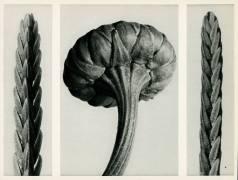 Cassiope Tetragona (Karl Blossfeldt) - Muzeo.com