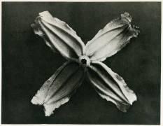 Clematis Integrifolia (Karl Blossfeldt) - Muzeo.com