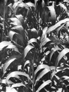 Corn Plants, Mexico (Tina Modotti) - Muzeo.com