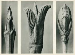 Cornus Brachypoda (Karl Blossfeldt) - Muzeo.com